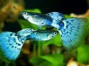 Ikan Guppy Sang Calon Primadona