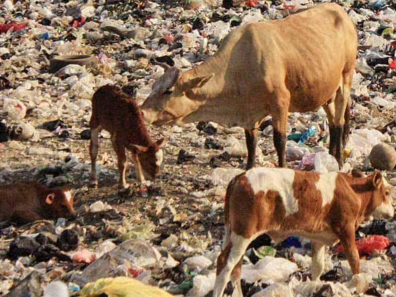 Sapi Di Kawasan TPA Putri Cempa Solo Terindikasi Kandungan Logam Berat