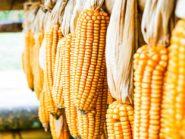 jagung impor