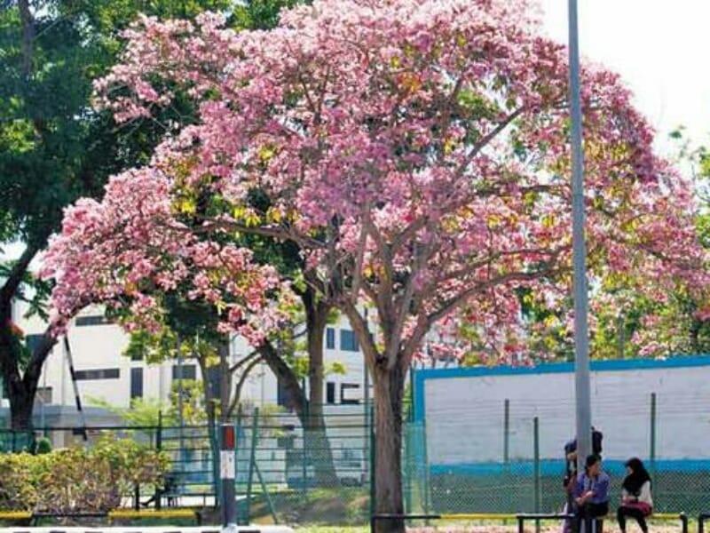 Tak Harus Ke Jepang, Nikmati Bunga Sakura di Indonesia Akhir Maret Nanti