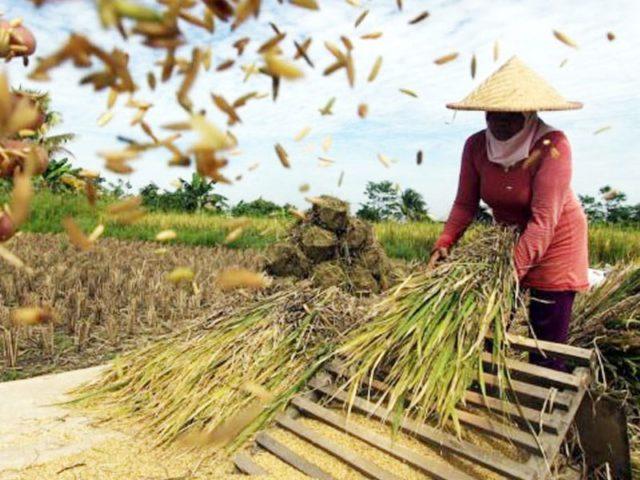 surplus beras